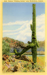 "Famous ""Walking Cactus,"" near Wickenburg, Arizona"