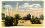 Spanish Bayonet in Bloom in the Desert