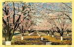 United States – California – Blossom Time in California