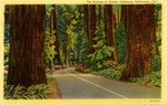 United States – California – California Redwoods – The Avenue of the Giants