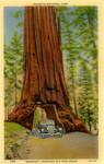 "Yosemite National Park - ""Wawona,"" Mariposa Big Tree Grove"