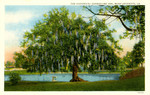 The Historical Evangeline Oak, Near Lafayette, Louisiana