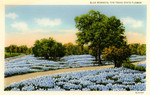Blue Bonnets, The Texas State Flower