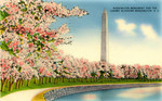 Washington Monument and the Cherry Blossoms - Washington, D.C.