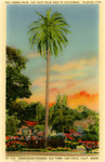 United States – California – San Diego – Old Town – Serra Palm – The First Palm Tree in California – Planted 1769 by the Franciscan Fathers