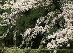 Japan - Susono - Fujin Seishin Girls School - Sakura in the Grave