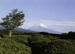 Japan - Susono - Fujin Seishin Girls School - Tea Fields