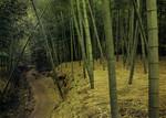 Japan - Saga - A Path in a Bamboo Field