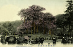 Japan – Kyōto – Maruyama Kouen