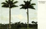 Cuba – Baracoa – Plantacion de Palmas