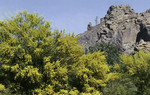 Arizona – Palo Verde and the Praying Monk