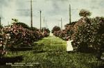 Texas – Galveston, Oleander Esplanade